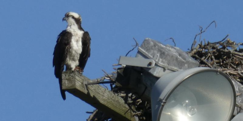 The osprey waits for it's mate March 2021